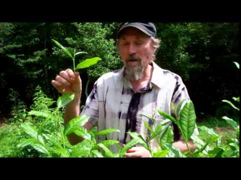 How to Harvest a Tea Plant - Camellia Sinensis | Tea Pursuit