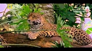قطط كبيرة ـ هجوم القطط الكبيرة