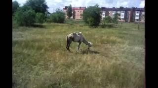 Вложик: Верблюды