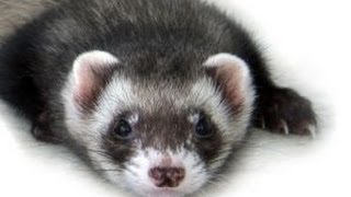 This is a dancing ferret that I found in the animal store. The musi...