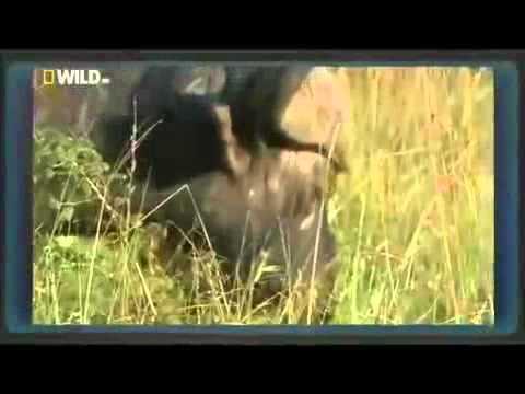 Cape buffalo kills a Lion   NOT FOR SENSITIVE VIEWERS