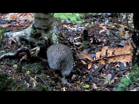Rare Kiwi Sighting on Ulva Island, New Zealand