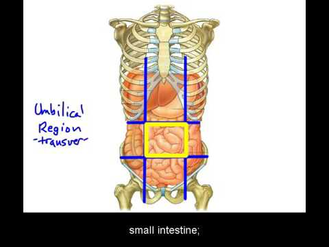basic abdominal anatomy - youtube, Skeleton