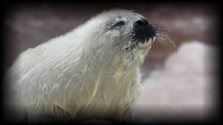 Poor Ice Conditions Spell Trouble for Harp Seals