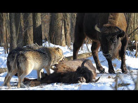 Волки против зубров. [Чернобыльская зона]