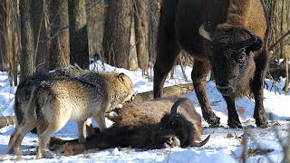 Волки против зубров. Чернобыль. Wolves vs. european bisons in Chernobyl