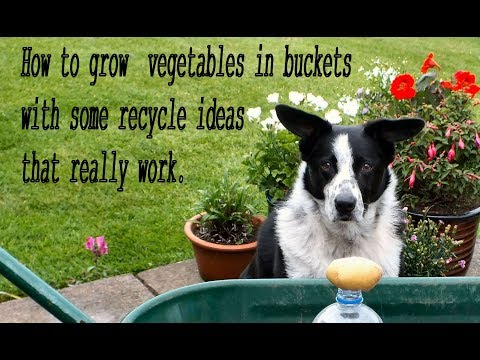 HGV How to grow  vegetables in buckets with some recycle ideas that really work, start to finish.