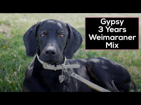 Gypsy - Neglected Weimaraner Gets New Lease on Life!