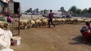 Sivas  kankal koyunları   adana  doğanlı ailesi