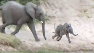 Baby Elephant Falls and Rolls Down a Hill