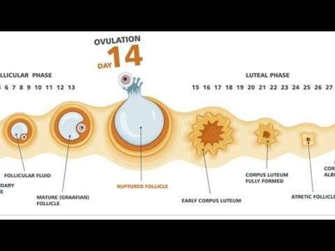 How to calculate ovulation day