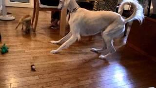 5ヶ月の子犬相手に大人げない遊びに興じるサルーキ5歳.