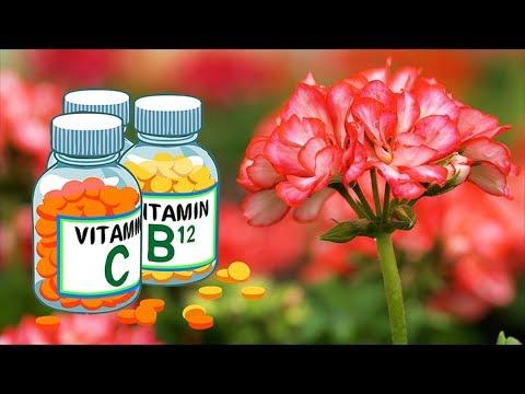 Витамины для герани. Чем подкормить пеларгонию для пышного цветения.
