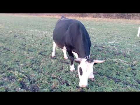 запуск коровы/консервация вымени/последняя дойка коровы//шприцы для запуска коров