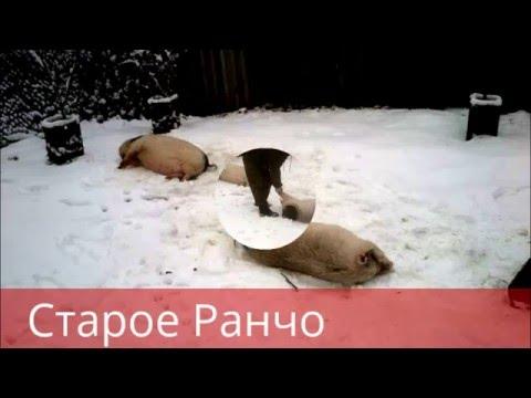 Купить свиней, поросят в зоомагазине харькова: большой выбор свиней, поросят в интернете продажа свиней, поросят в харькове. На ria вы можете купить свиней, поросят (поросенок свинка в харькове).