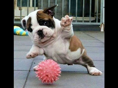 Too Funny English Bulldogs Video 2015 - We all Love Bulldogs Don't We