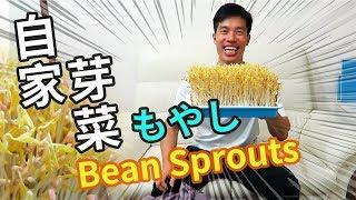 自家種芽菜 | Home grown bean sprouts | もやしの育て方 (中文字幕/Eng Sub/日本語字幕)