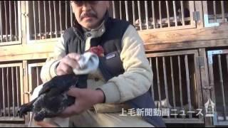 チャボや軍鶏しゃもなど国の天然記念物「日本鶏」を飼育し、その美しさ...