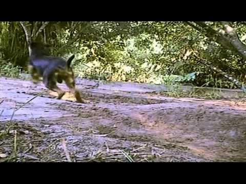 Jaguar Attack Full Documentary Wild Life Nature