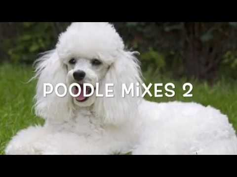 Poodle Mixes 2