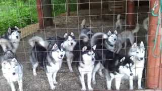 Hungry pack of dogs / Стая голодных собак