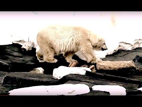 SEA WORLD SAN DIEGO.  POLAR BEAR. WALRUSES. BELUGA. SNOW HILL. CALIFORNIA.