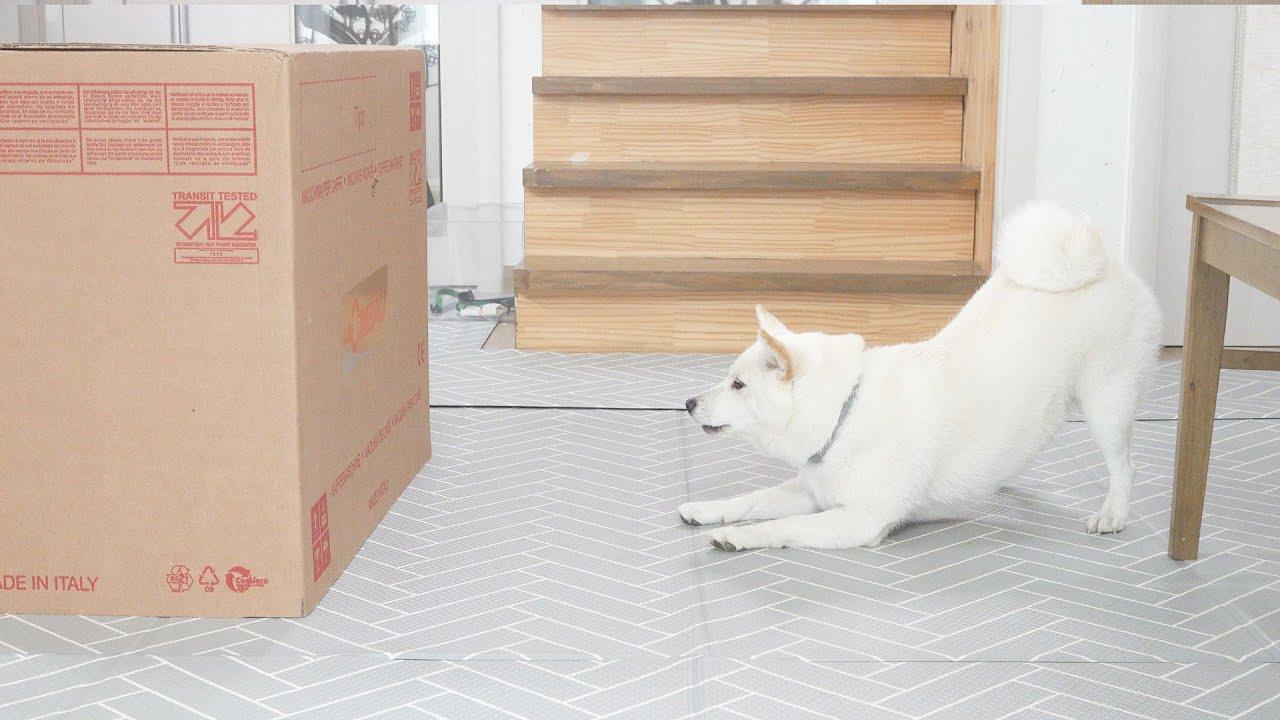 몰래 상자 안에 숨었더니 강아지 반응이..ㅋㅋㅋ