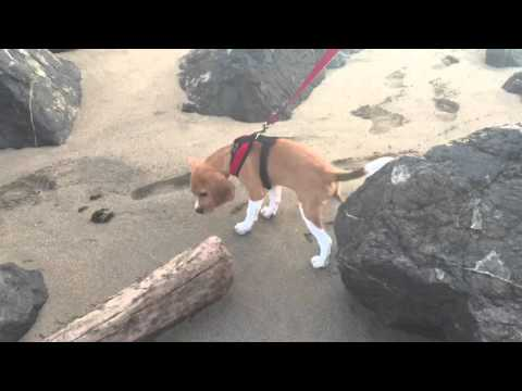 Ron The Gryffindor Beagle - First Beach Walk