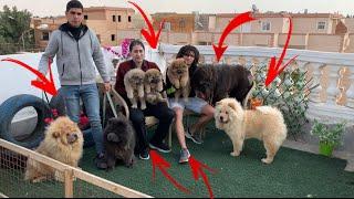 مزرعة كلاب تشاو تشاو اغلا كلاب 20000$دولار (سلسة المزارع 2)