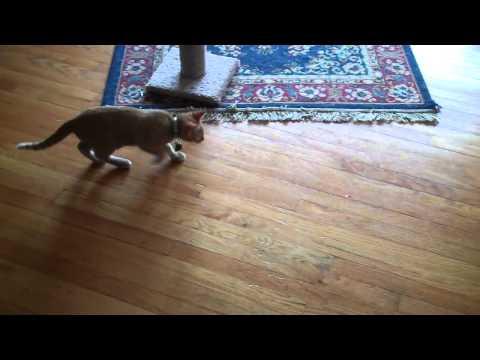 Soup The Cat vs. Laser Pointer