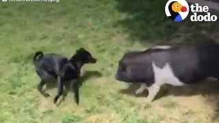 Pig Plays With Puppy Brother | The Dodo
