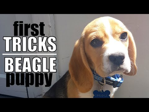 8 Tricks to Teach your Beagle Puppy First