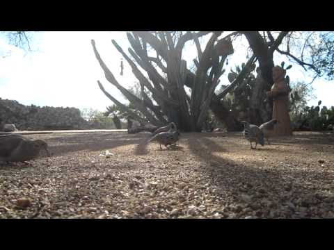 Funny Sounds of Gambels Quail