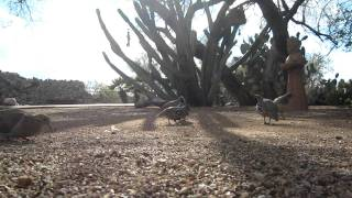 Funny Sounds of the Gambels Quail