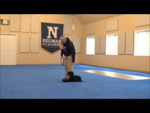 Madi (Petite Labradoodle) Puppy Camp Training Demonstration
