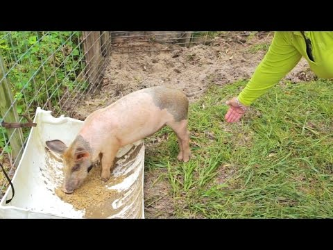 Raising pigs for meat your pig farming questions answered youtube raising pigs for meat your pig farming questions answered publicscrutiny Choice Image