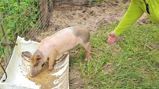Video Raising Pigs For Meat: Your Pig Farming Questions Answered download MP3, 3GP, MP4, WEBM, AVI, FLV Agustus 2017