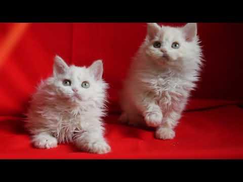 Selkirk rex kittens .Avaliable
