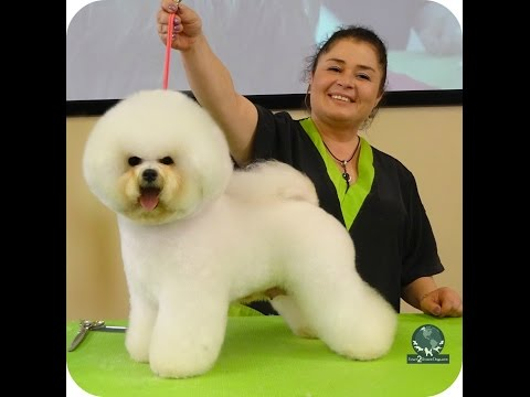 Dog Grooming - Grooming a Show Style Bichon