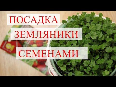 Земляника лесная: Полезные свойства ягод и листьев