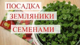 """Посадка земляники семенами. Рассада земляники в """"улитке"""". (21.01.2017)"""