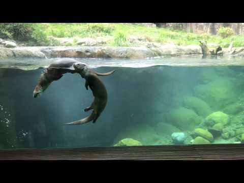Otters at the Woodland Park Zoo