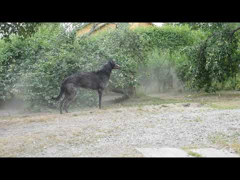 Scottish deerhounds play in the garden