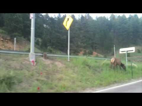 Elk By Evergreen Lake