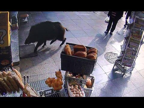 Şehre inen domuz ortalığı birbirine kattı
