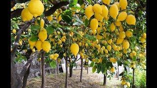 Lemon Agriculture - Gandharaj Lemon Farming and Cultivation of lemon