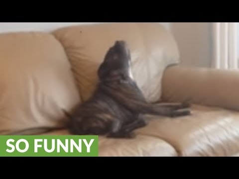Dog impressively sings along with harmonica player