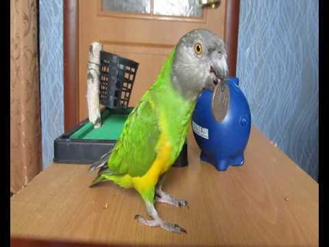 Обучение сенегальского попугая