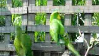 Superb Parrot has a new mate..