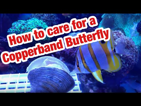 How To Care For A Copperband Butterfly : Saltwater Aquarium/ReefTank Fish